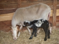 Il Primo agnello
