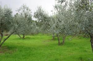 oliveta (2)